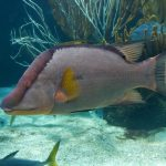 Hogfish Can 'See' with Its Skin