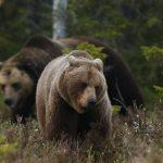 Η Θεωρία του Δαρβίνου... μαγεύει: Οι αρκούδες στη Σουηδία προσαρμόζονται σύμφωνα με τη... νομοθεσία!