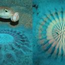 Ο καλλιτέχνης του βυθού - Ψάρι ζωγραφίζει για να προσελκύσει το ταίρι του...