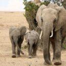 Ελέφαντες ταξίδεψαν 12 ώρες για να πάνε στην κηδεία ανθρώπου που τους είχε σώσει απ το θάνατο.