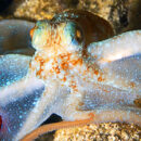 Do octopuses dream of 8-armed sheep? New study hints at human-like sleep cycle in cephalopods
