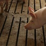 Hours After Pigs' Death, Scientists Restore Brain Cell Activity