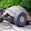 90-Year-Old Tortoise Gains A New Set Of Wheels After Losing Her Legs To Rat Bites