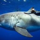 Ocean Ramsey Encounters GIANT 20ft Great White Shark
