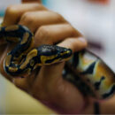Understanding Snake Hearing